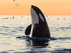 orca_spyhopping